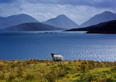 a photograph of a sheep on the isle of raasay